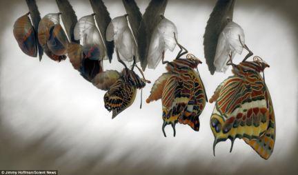 butterflyemerging