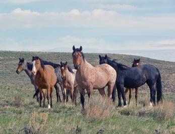Wild Horses on U.S. plain