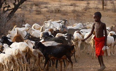African goat herding - a single goat can be the difference between life and death for a family.