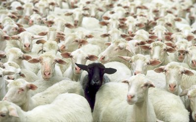 Even in the most genetically planned domestic herds, black sheep still pop up