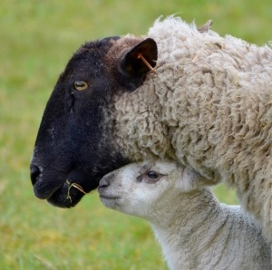 Lambs are adorableness, and mother sheep are protective