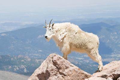 Mountain Goat in Colorado, taken by Jaci Harmsen, click through for more of her work