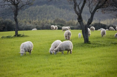 Sheep grazing on a Scottish plain