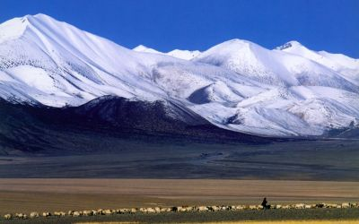 Tibetan sheep herd on the plains