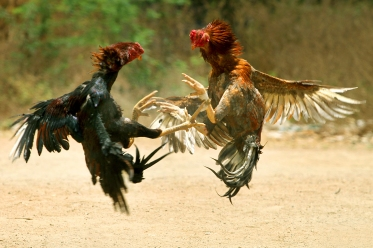 cock_fight
